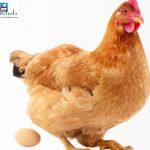chicks-hub-fidan