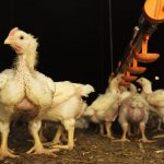 REASONS FOR POOR BROILER GROWTH PERFORMANCE