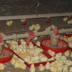 POOR BROODING PRACTISES AS  TRIGGER FOR EARLY OUTBREAK OF CHRONIC RESPIRATORY DISEASE IN CHICKS