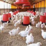 LITTER MANAGEMENT IN POULTRY